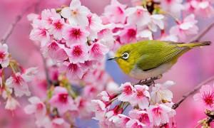 profitez-dun-peu-de-serenite-en-contemplant-ces-cerisiers-en-fleurs-marquant-le-renouveau-du-printemps-au-japon-une